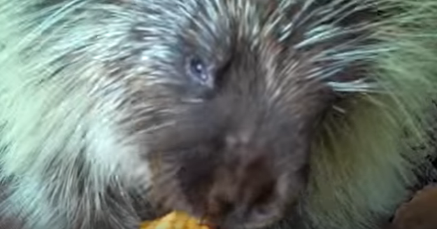 This porcupine cannot contain his excitement as he eats pumpkins for the first time.